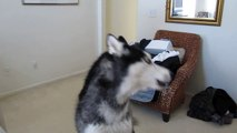 Mishka the Singing Husky Dog American Idol Audition - Whitney Houston