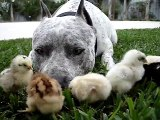 Pit Bull & Chicks - HAPPY  EASTER !!! ;) The Great American Pit Bull Terrier SHARKY. HelensPets.com