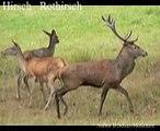 Rothirsch Hirsch Tiere Animals Natur SelMcKenzie Selzer-McKenzie