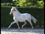 SPANISH HORSES STALLIONS AND LUSITANO HORSE