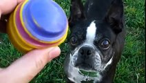 French Bulldog and Boston Terrier Playing Ball