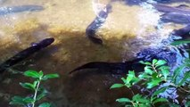 Stephanie Bowman feeding eels at Pukaha