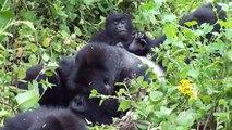 Mountain Gorillas in Virunga Mountains, Rwanda (Susa Group)