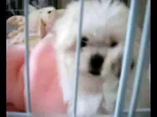 Maltese Puppies   Maltese Dogs   Free Maltese Puppies   Maltese Dog Breeder