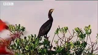 Trinidad the Scarlet Ibis Wild Caribbean BBC Nature