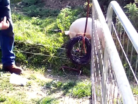 pigs electric fence2