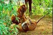 Tigre - animais selvagens (Tiger tribute compilation) Grandes felinos