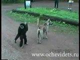 Mono toca pelotas - Solocachondeo.Com
