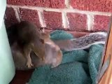 Baby Squirrel Fight