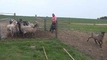 Morgan herding sheeps