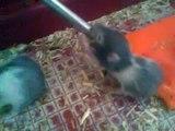 Bébés hamsters de 15 jours