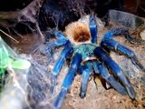Tarantula Feeding (Chaco Golden Knee, GBB, Mexican Red Leg)