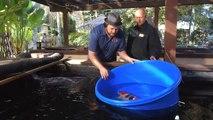 Koi Fish Selection 2 | How to Select Kohaku, Asagi & Sanke Koi