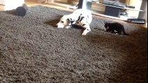 Un dalmatien et un chaton devenu meilleur ami