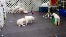 Samoyed Puppies - Yapping in the Rain (51 days old)