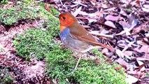 野鳥:コマドリ/Wild Birds: Japanese Robin