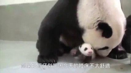 Un bébé panda rencontre sa maman pour la première fois - Watch Video Online  - MP3 HOTLancer Video Search Engine 51defc8f466