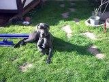 In Erinnerung an meine geliebte Deutsche Dogge Donna-Bella