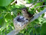 Humming bird nest April 2 2007 (Momma Feed Me)
