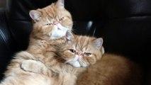 Alerte cute : séance câline entre deux chats sur le canapé