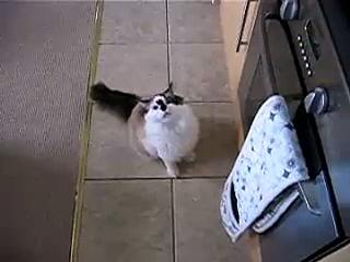 Bob the kitten REALLY wants some prawns
