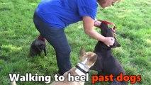 Bodhi - German Shorthaired Pointer - 4 Week Residential Dog Training