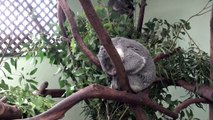 Sleeping Koala compilation and moving Koala fun - schlafende und aktive Koalas
