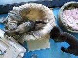 ileum the ferret attacking pet clinic cat hammy