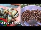 Larva ng salagubang pulutan sa Ilocos Norte