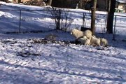 Samoyed Puppies In The Snow #1