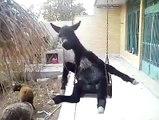 Donkey in swing......hahahahah