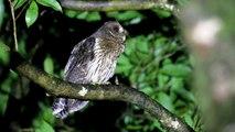 Fundación Rapaces de Costa Rica / Owls of Costa Rica