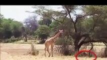 ATTACK - Lion Attack Giraffe - Tiger Attack Warthog [Dangerous]