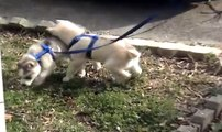 Siberian Husky Puppies 5 weeks old In New Home