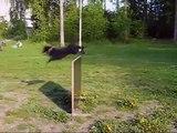 Mudi Pantse & hyppynoudot - Mudi Pantse jumping and fetching