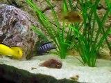 Lotta tra Labidochromis caeruleus