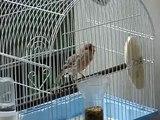 Canario Roller  Roller canary