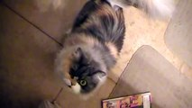 One Eye Kitty Tries to Locate Food (Funny Cat) Persian Cat