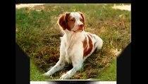 Adestrar Cachorro - Como Educar seu Cão -RAÇAS DE CÃES