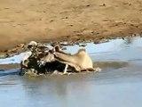 (IMPRESIONANTE) Perros Salvajes Del Africa Matan y Deboran Su Presa (Lycaon pictus)