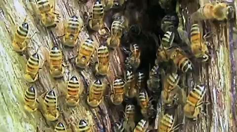 Wild Honey Bee Hive