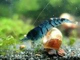 "Caridina cf. cantonensis sp. ""Blue Tiger"" 01"