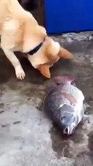 Balıkları hayatta tutmaya çalışan köpek
