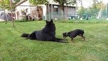 FEE NOIRE chiot dit bonjour au chien lituanie.MOV
