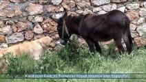 Karakaçan Eşek Ve Rottweiler Köpek Hınzırca İşler Yapıyorlar