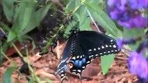 Monarch butterfly, Giant Swallowtail butterfly, black swallowtail butterfly