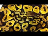XTREME PYTHONS - SPECIAL REQUEST BY JAHRED PLUS SHOUT OUTS.wmv