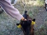 Chèvres miniatures des Tourelles - Ma petite et câline EBENE !