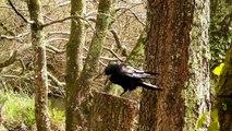 Rooks in The Rain - Rook - Corbeau Freux