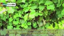 Vignes de jardin et de balcon - Colour your Life - La Plante du Mois